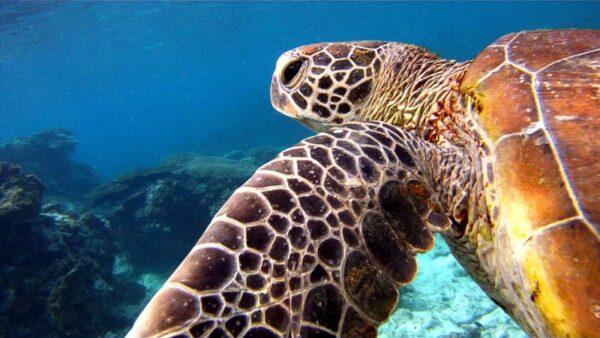 Australien in 100 Tagen, Green Turtle, Lady Elliot Island, eine DVD von Silke Schranz und Christian Wüstenberg
