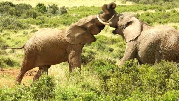 Südafrika, Elefantenkampf, ein Film von Silke Schranz und Christian Wüstenberg