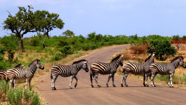 Südafrika, Zebra Abbey Road, ein Film von Silke Schranz und Christian Wüstenberg